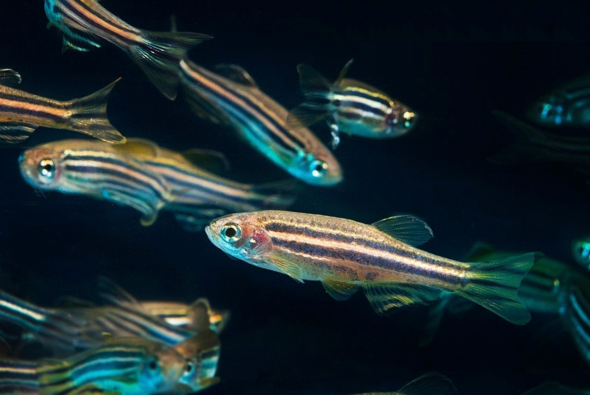 Making Strides in Cancer Research Using Zebrafish
