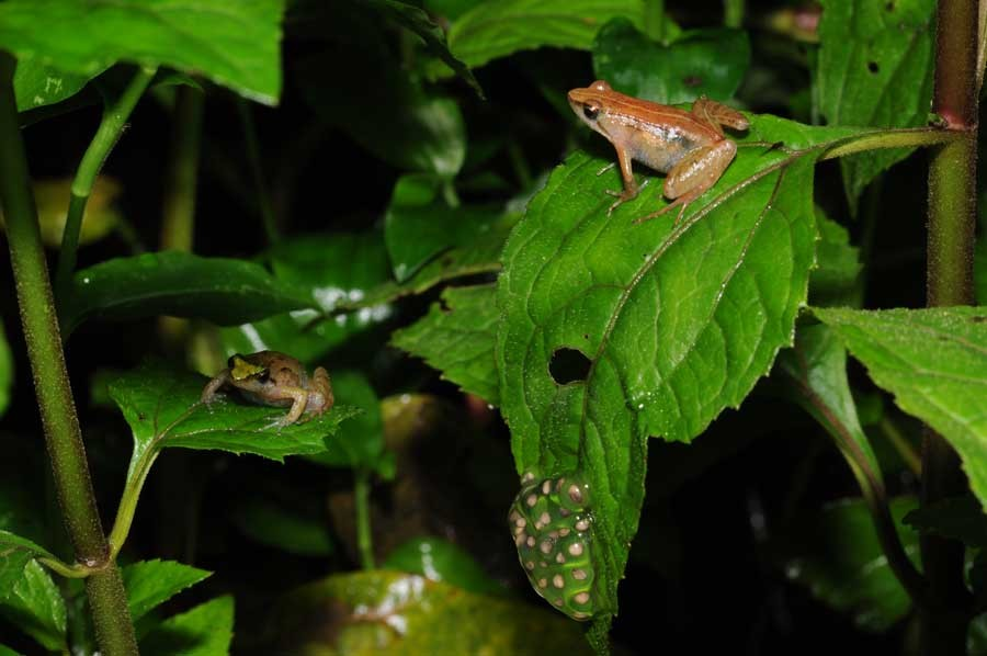 Two female puddle frogs