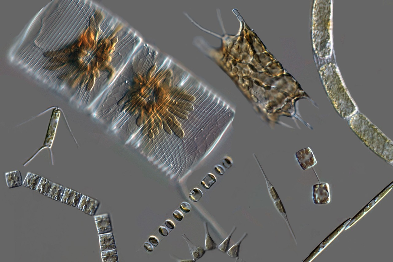 Micrographs of representative diatom species.  Photo credit: Dr. Colleen Durkin.