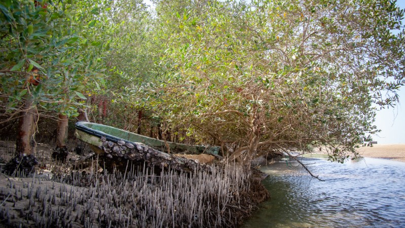 The gray mangrove (qurm in Arabic) forms the only natural evergreen forest in Arabia. Researchers at NYU Abu Dhabi's Center for Genomics and Systems Biology have recently published a high-resolution genome for this species.