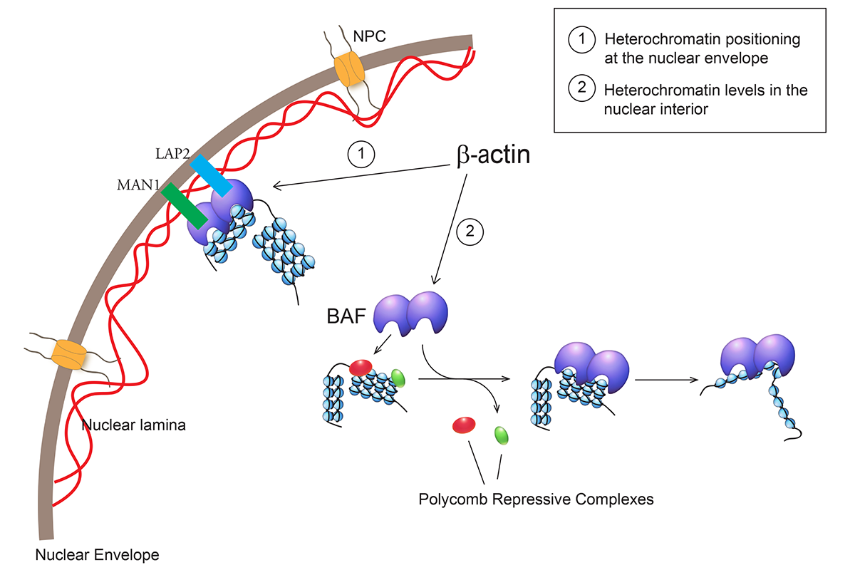 Figure 1. A speculative model of β-actin controlling spatial distribution of heterochromatin and global euchromatin levels. We propose that β-actin regulates Brg1 dependent ATPase activity of the BAF complex and its interplay with both nuclear envelope and Polycomb repressive complexes in the nuclear interior (Adapted from Xie and Percipalle, 2018).