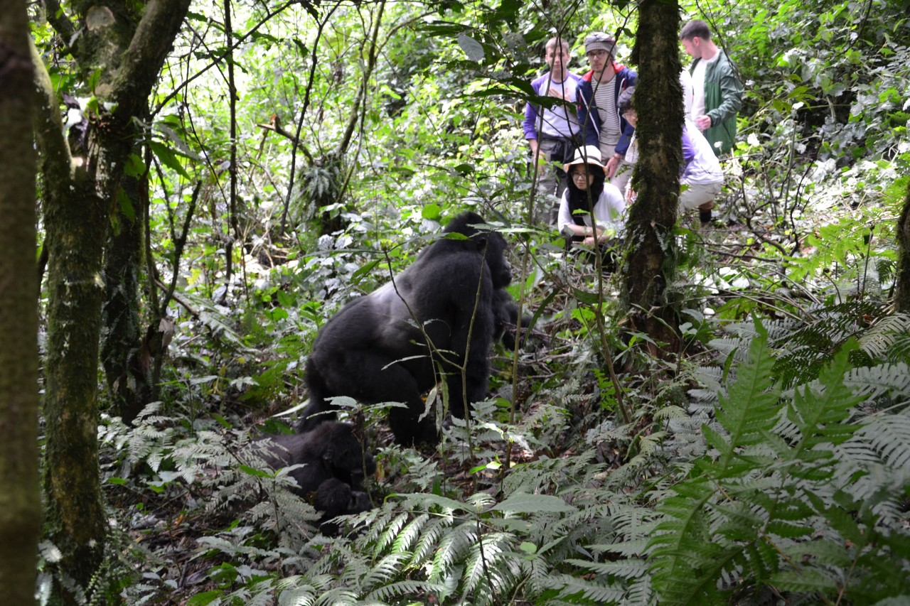 Students observing a silverback gorilla in Uganda.