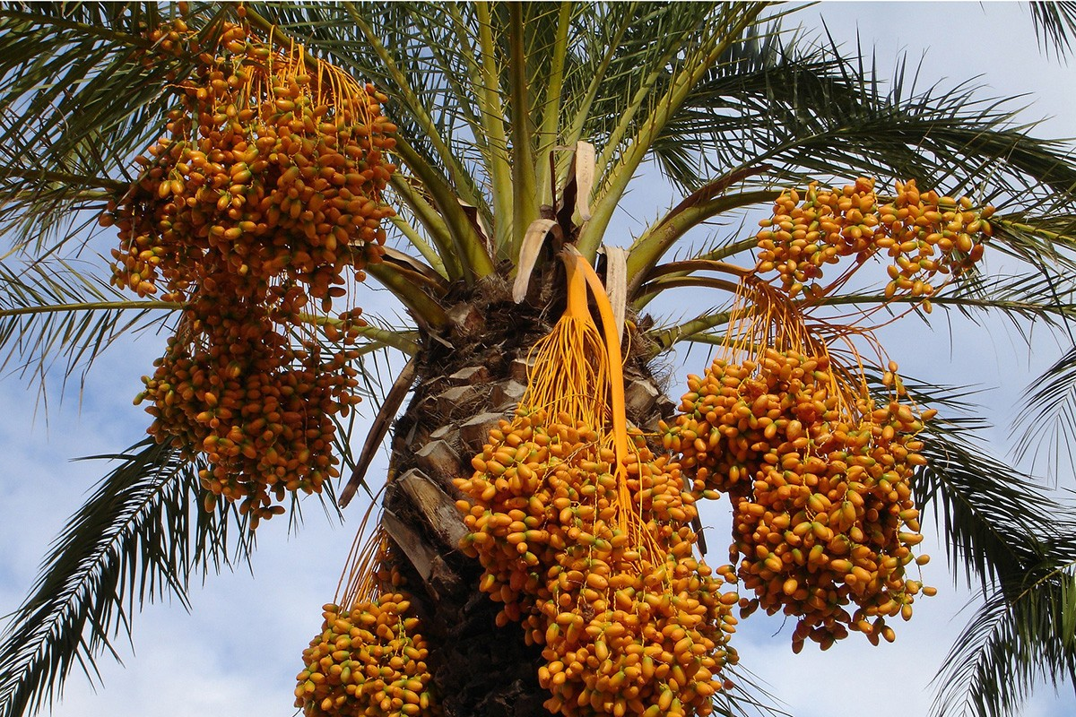 The Evolution of Date Palms