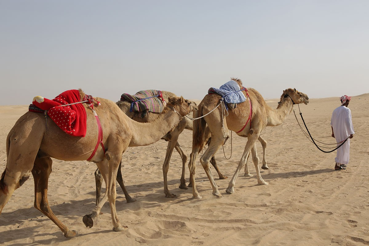 The UAE is known for its camel culture.
