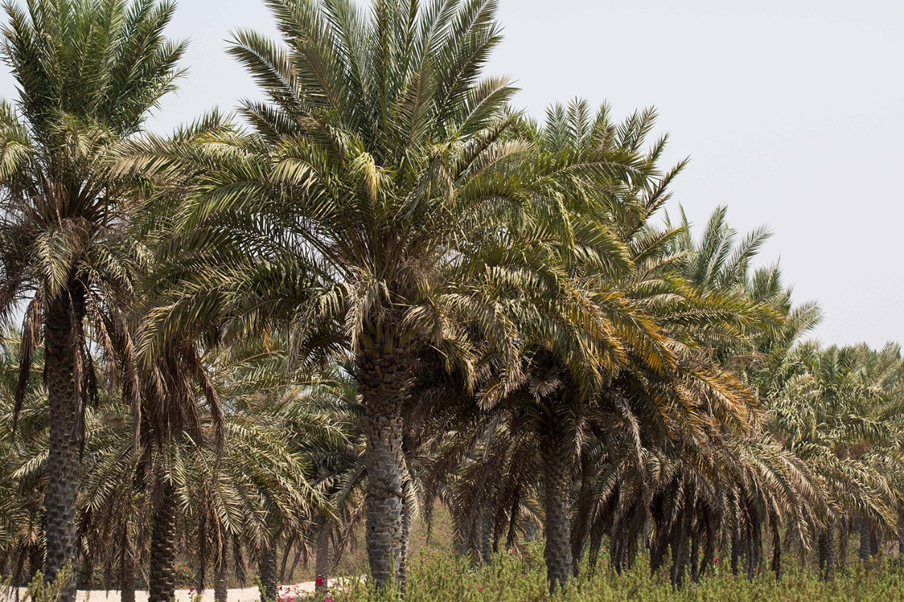 The UAE is famous for its date trees.