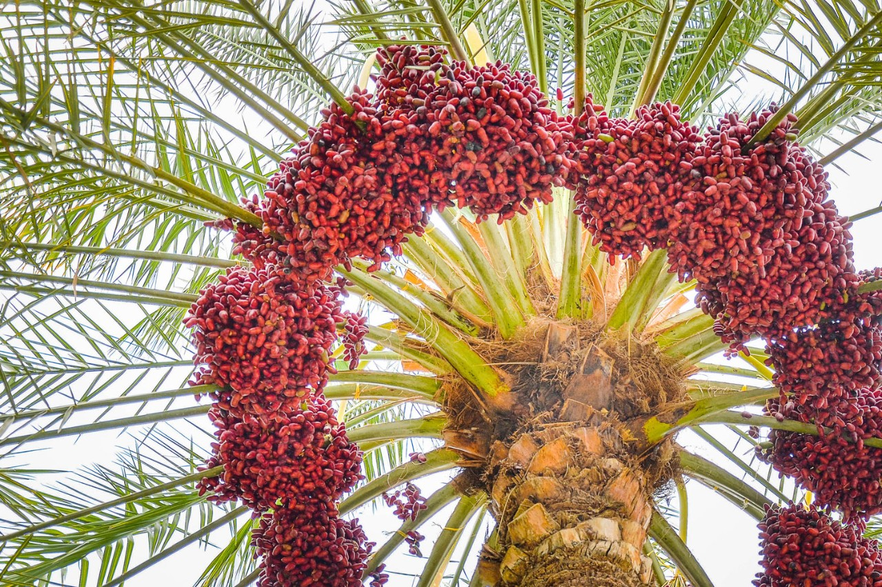 NYUAD's 100! Dates Project aims to find out about the genetic diversity of the date palm, which will help researchers understand how date palms evolved and provide tools for improving the cultivation of an important and symbolic UAE plant.
