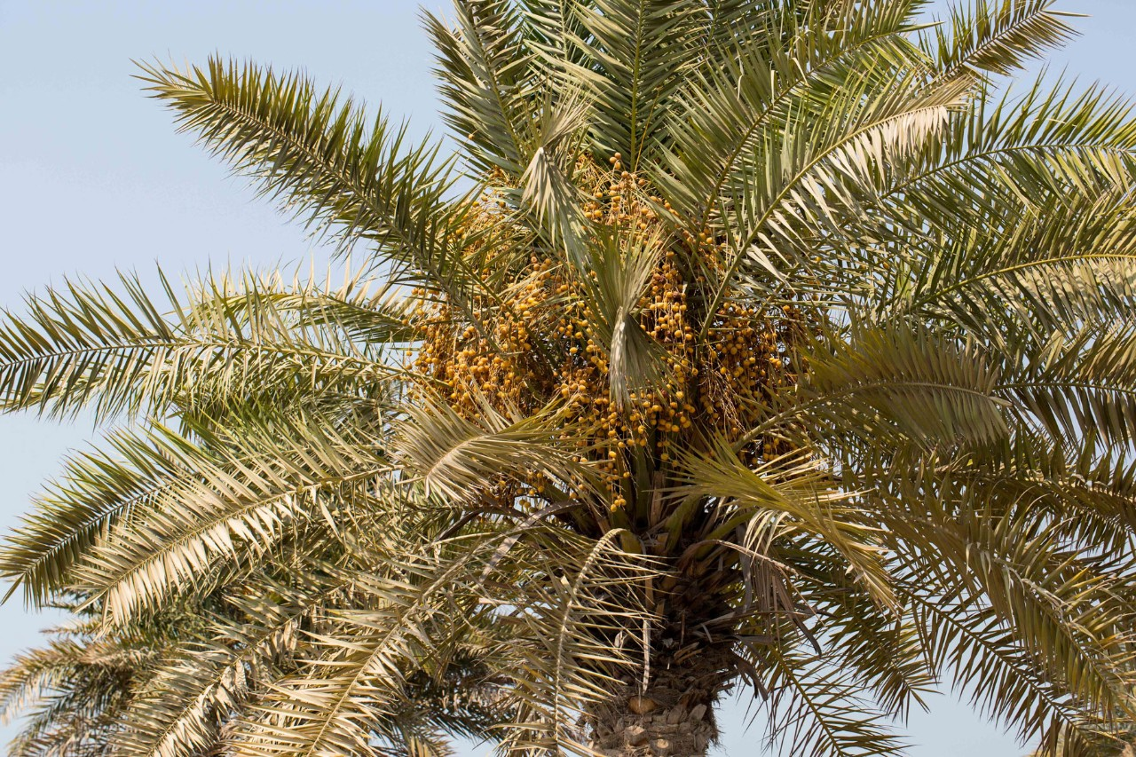 Scientists Unravel Evolutionary History of Date Palm