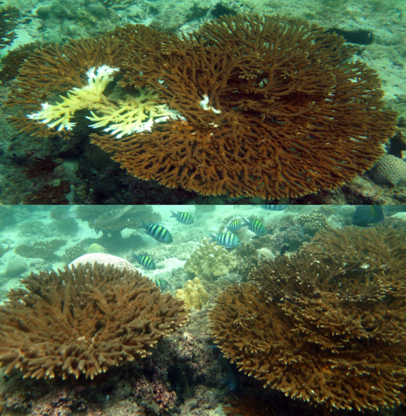 "Examples of the coral species ""Acropora"" and ""Platygyra"" colonies infected with a white syndrome disease.  (A) ""Acropora"" colonies infected with a white syndrome disease (top image) and healthy colonies (bottom image)."