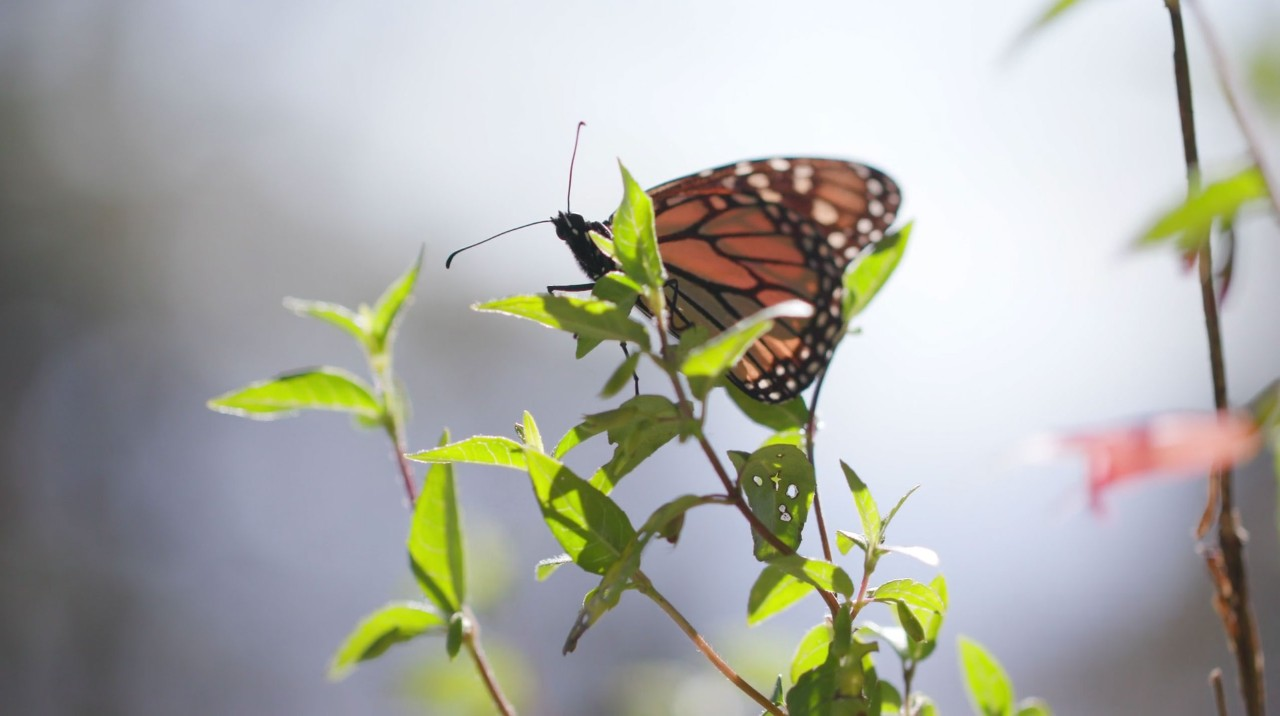 Monarch butterfly on a branch