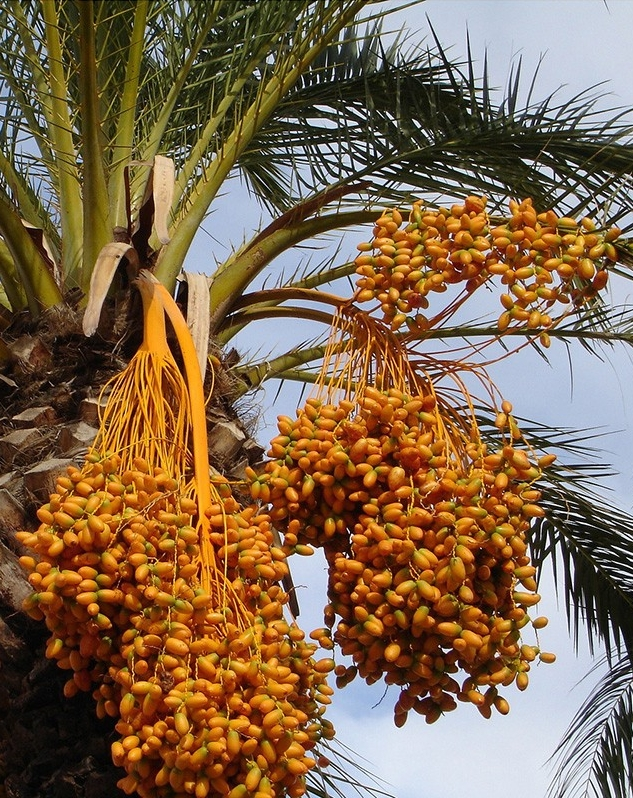 An image of a date palm tree.