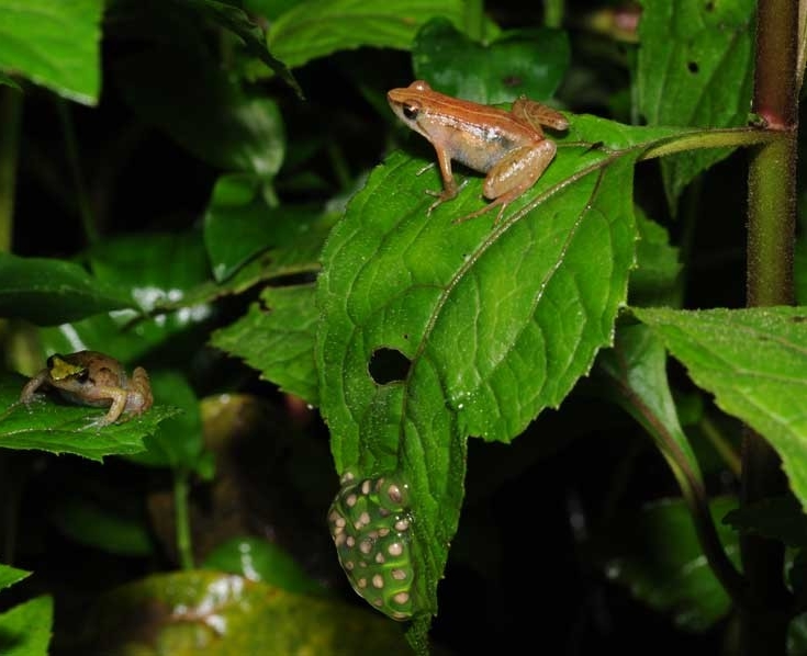 Two female puddle frogs discovered a new species of puddle frog on a remote mountain in Ethiopia.