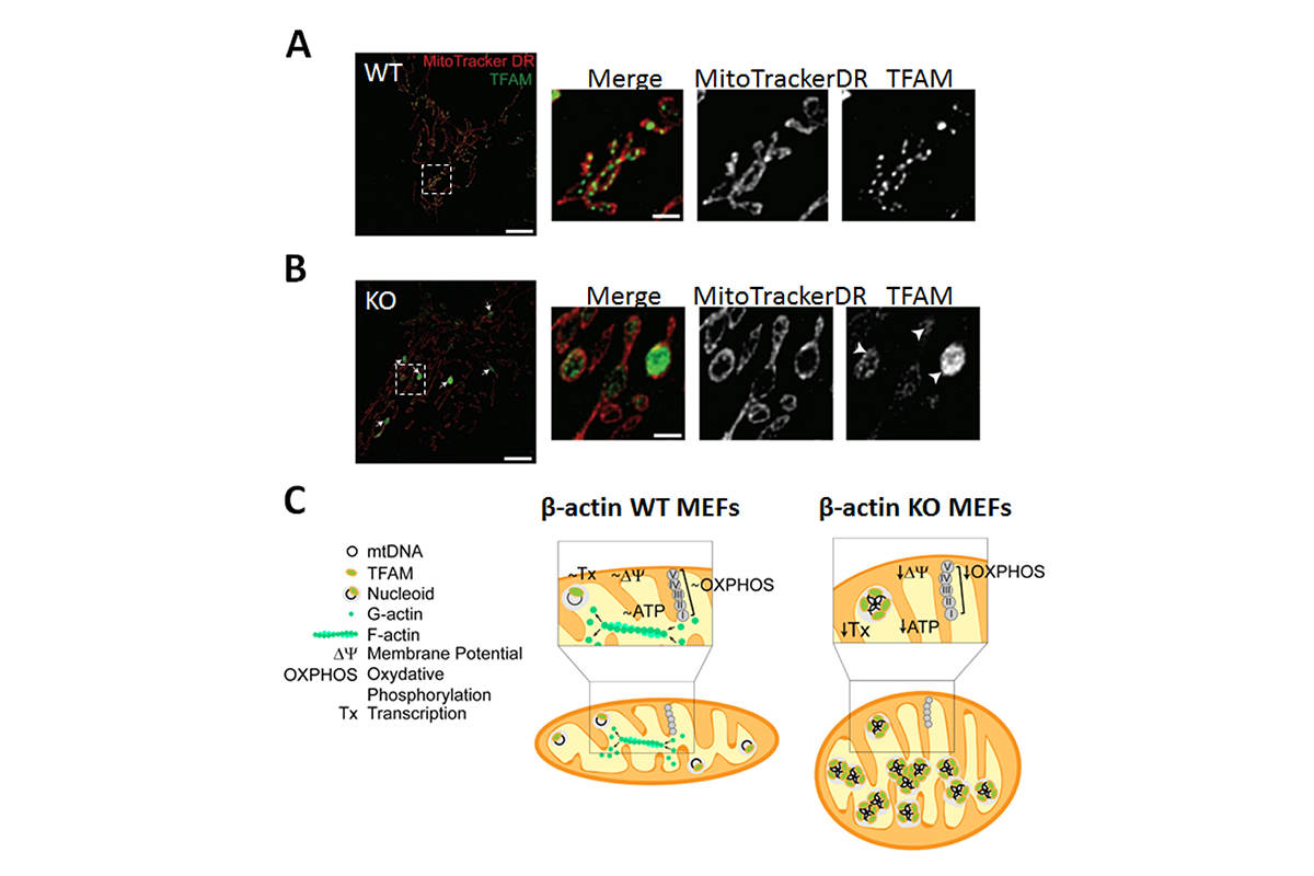 Figure 4 - A novel role of beta actin in the organization of the mitochondrial genome