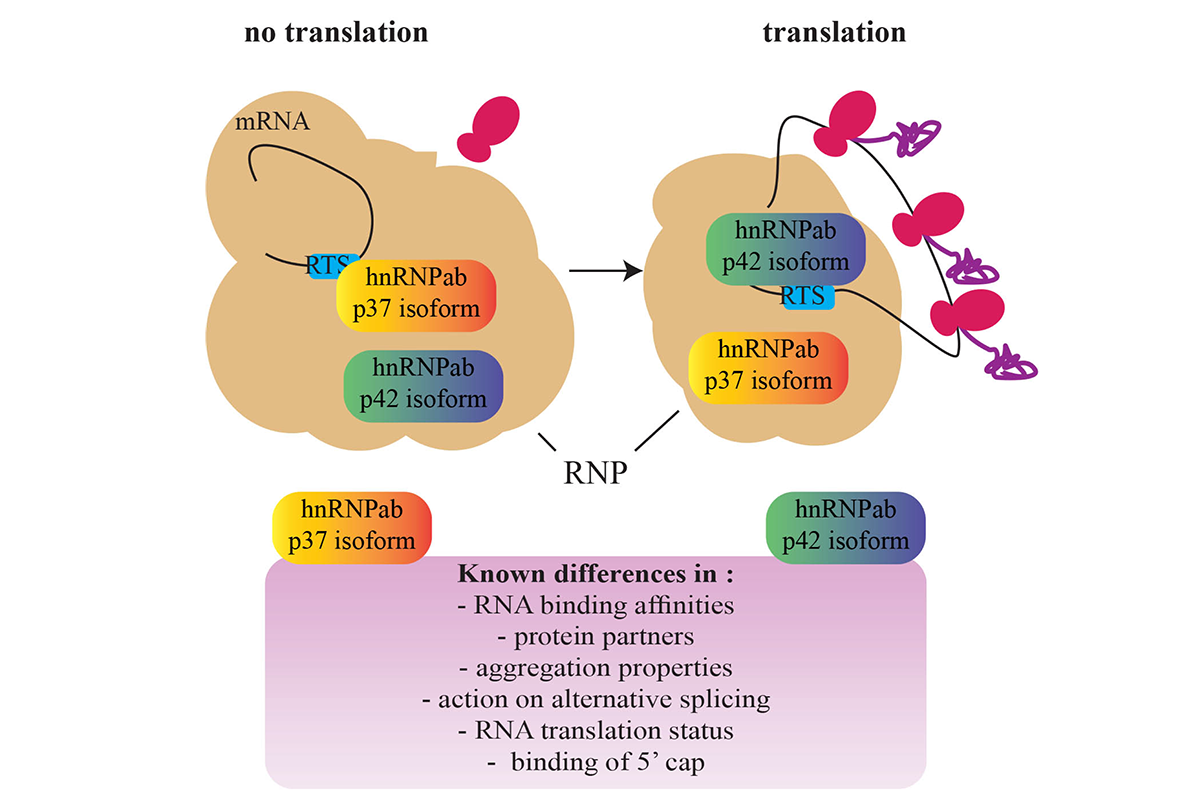 Figure 5. - Posttranscriptional regulation of gene expression during neuronal development