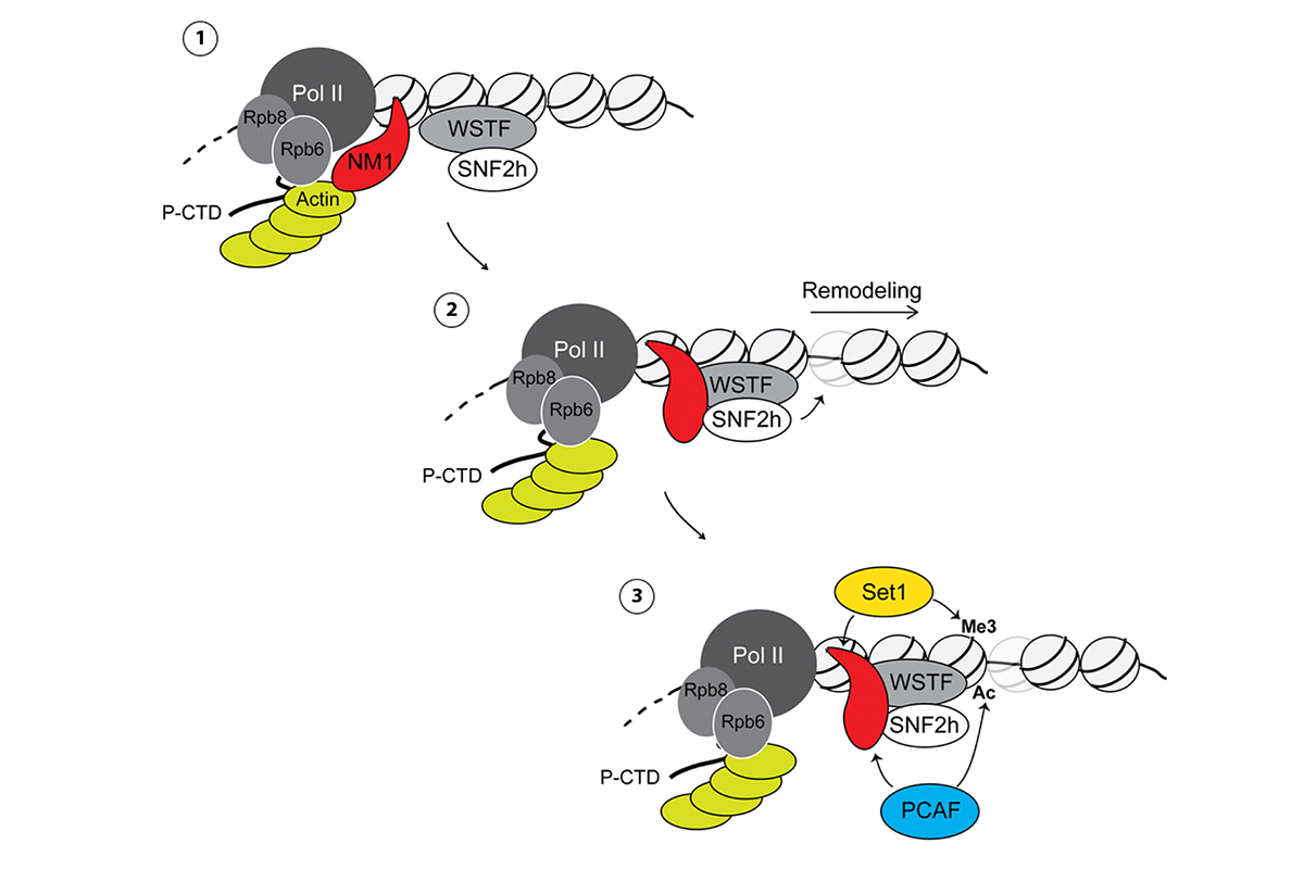 Figure 2. A speculative model in which NM1 coordinates the local remodeling and maintenance of active epigenetic marks for transcription activation of class II promoters. In the model, (1) NM1 interacts with actin bound to Pol II via the two RNA polymerase core subunits Rpb6 and Rpb8. (2) NM1 can also interact with SNF2h, thus facilitating B-WICH assembly to promote remodeling. We speculate that the NM1-actin and NM1-SNF2h interactions may depend on the ATPase activity of NM1 and may exclude each other. (3) This is followed by the establishment of H3K9ac, H3K27ac and H3K4me3 through NM1-mediated recruitment of the HAT PCAF and the HMT Set1/Ash2 that ultimately leads to transcription activation HAT histone acetyl transferase, HMT histone methyl transferase, NM1 nuclear myosin 1c (Adapted from Almuzzaini et al., 2015).