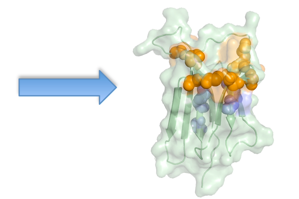 NMR Epitope Mapping: from the spectrum perturbation it is possible to localize the binding region.
